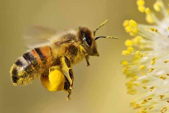 Ong thu thập phấn hoa