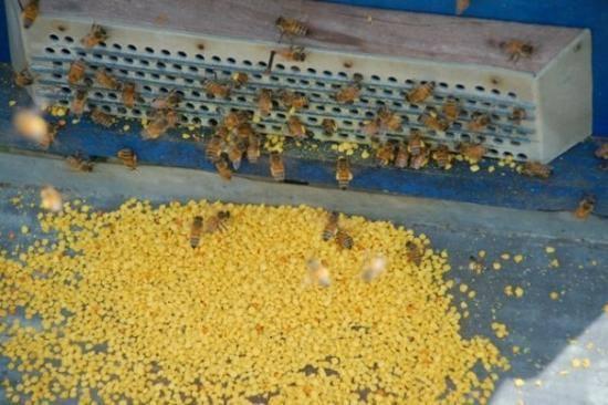 Cách thu hoạch phấn hoa từ ong nuôi