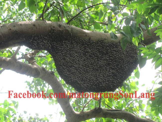 Hình dạng tổ ong khoái trên cành cây cao