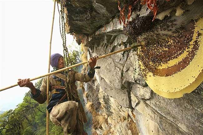 Tổ ong khoái trên vách đá